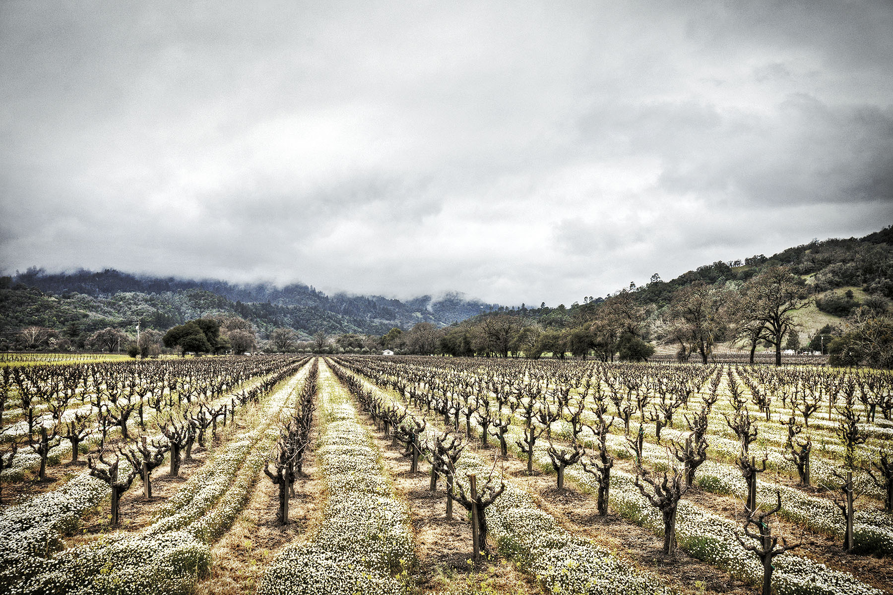 Napa Wine Country Grape Vines | Dovis Bird Agency Photography