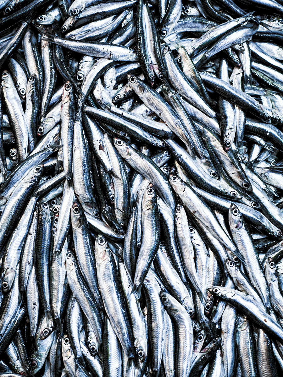 Smelts | Dovis Bird Agency Photography