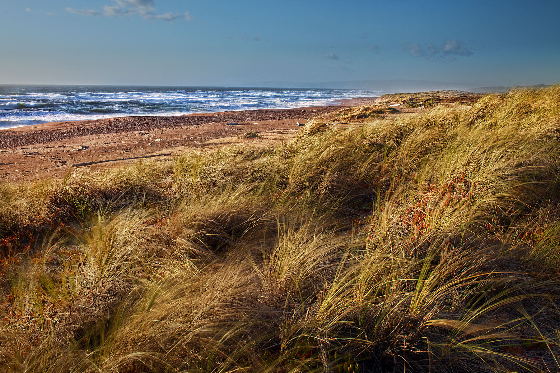 Dune grass California  Coast | Dovis Bird Agency Reps