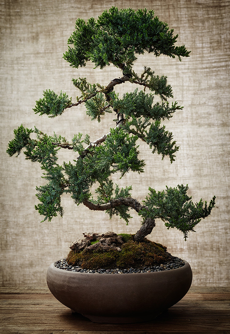 Bonsai Tree  | Dovis Bird Agency Photography